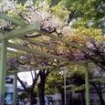 Ichijouji_fujidana